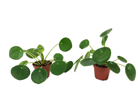 "Set of 2 Pilea Peperomioides Plants (2"" Pots)"