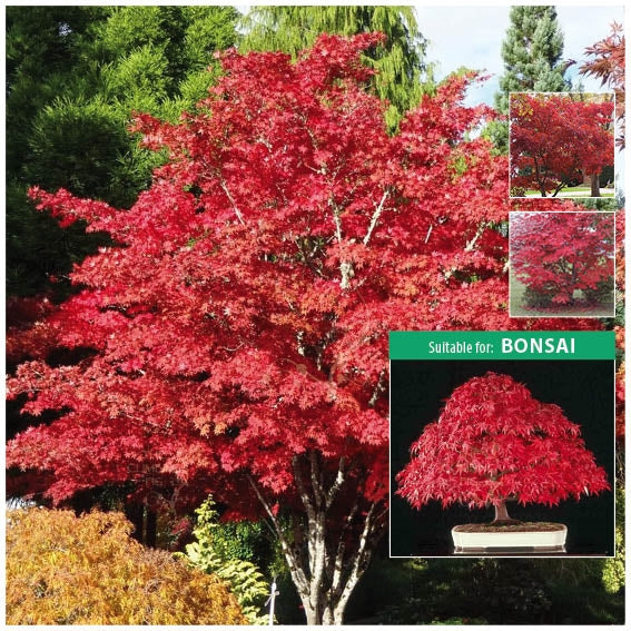 Acer Palmatum Japanese Maple Seeds The Climbing Fig