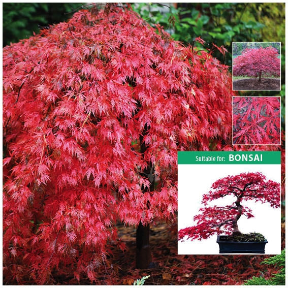 ACER PALMATUM Laceleaf Japanese Maple Atropurpureum Seeds. Ideal for bonsai