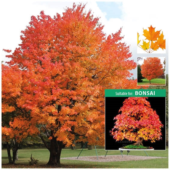 Acer Saccharum Sugar Maple Seeds