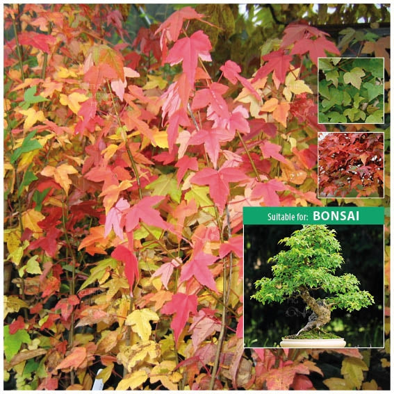 Acer Trifidum Trident Maple Seeds