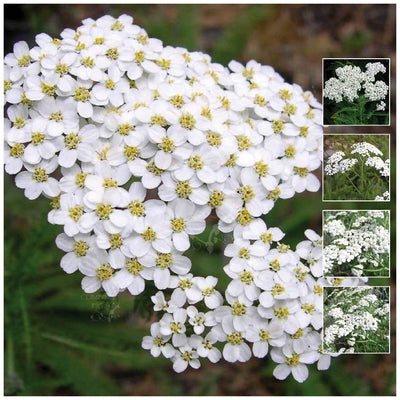 Achillea White Yarrow Seeds