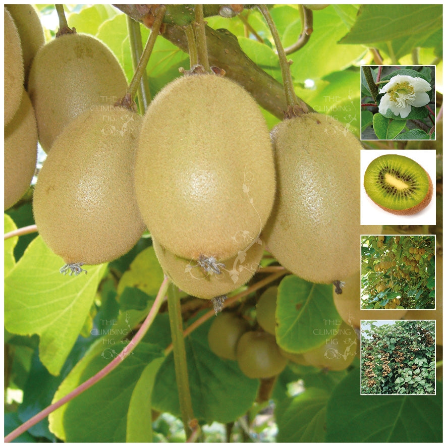 Actinidia Hayward Kiwi Fruit Gooseberry Seeds