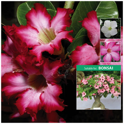 Adenium Obesum Thai Hybrids Mix Seeds