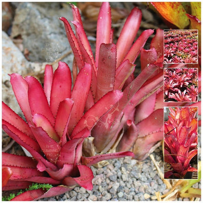 Aechmea Rubra Bromeliad Of Bahamas Seeds