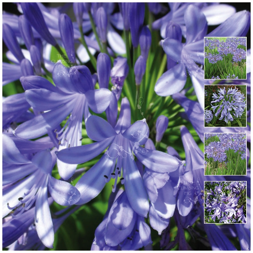 Agapanthus Eternal Blue Seeds