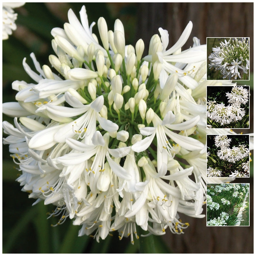 Agapanthus Eternal White Seeds