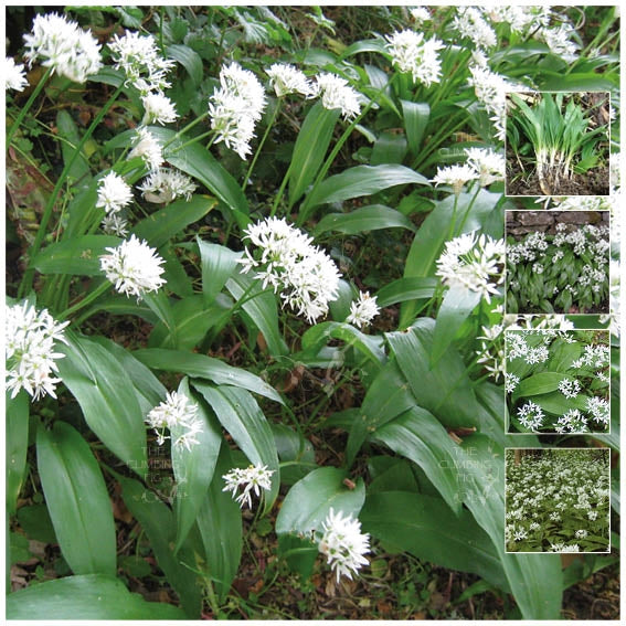 Allium Ursinum Broad Leaved Garlic Seeds. Ramsom. Wild perennial herb bulb