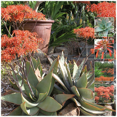 Aloe Striata Coral Profusion Seeds
