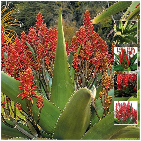 Aloe Vaombe Madagascar Tree Aloe Seeds