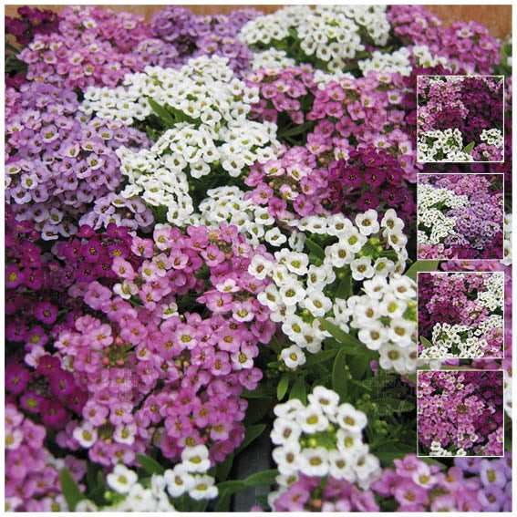 Alyssum Dwarf Nostalgia Mix Seeds
