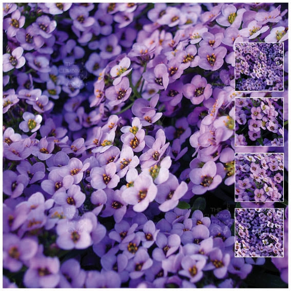 Alyssum Lavender At Dusk Seeds