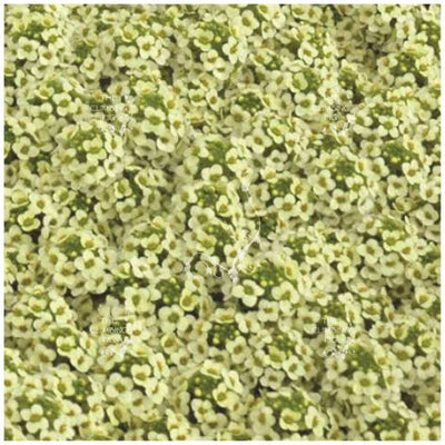 Alyssum Lemon Ice Seeds
