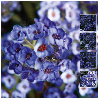 Alyssum Moody Blues Seeds