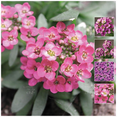 Alyssum Paegan Pink Seeds