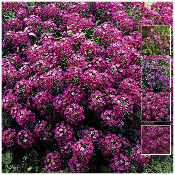 Alyssum Royal Velvet Seeds