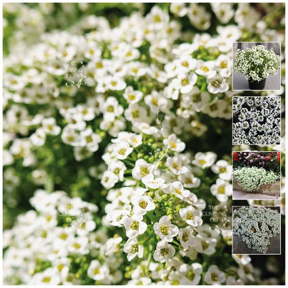 Alyssum Snow White 7 Seeds