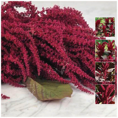 Amaranthus Red Cathedral Seeds