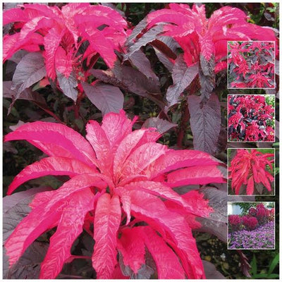 Amaranthus Tricolor Early Splendor Seeds