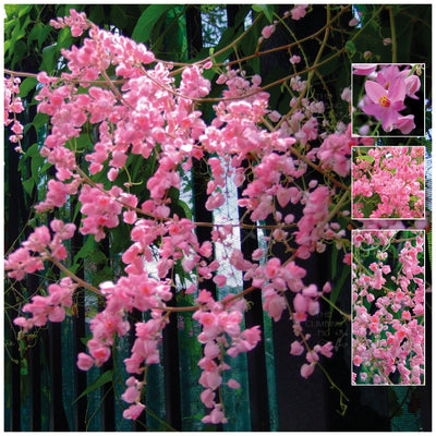 Antigonon Apple Blossom Coral Vine Seeds