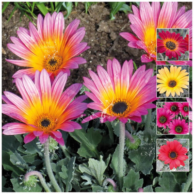 Arctotis Carnivale Mix Seeds