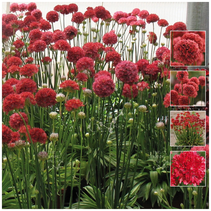 Armeria Kai Hybrid Red Seeds