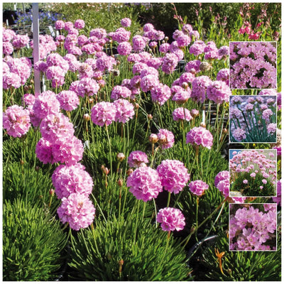 Armeria Sovereign Pink Seeds