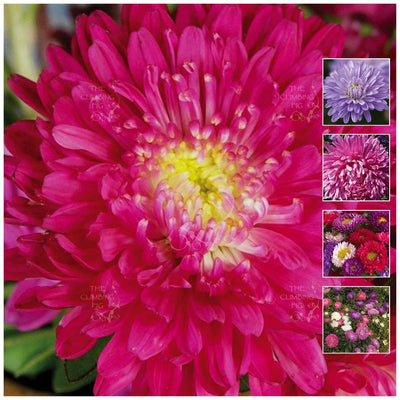Aster Lucid Perfection Mix Seeds
