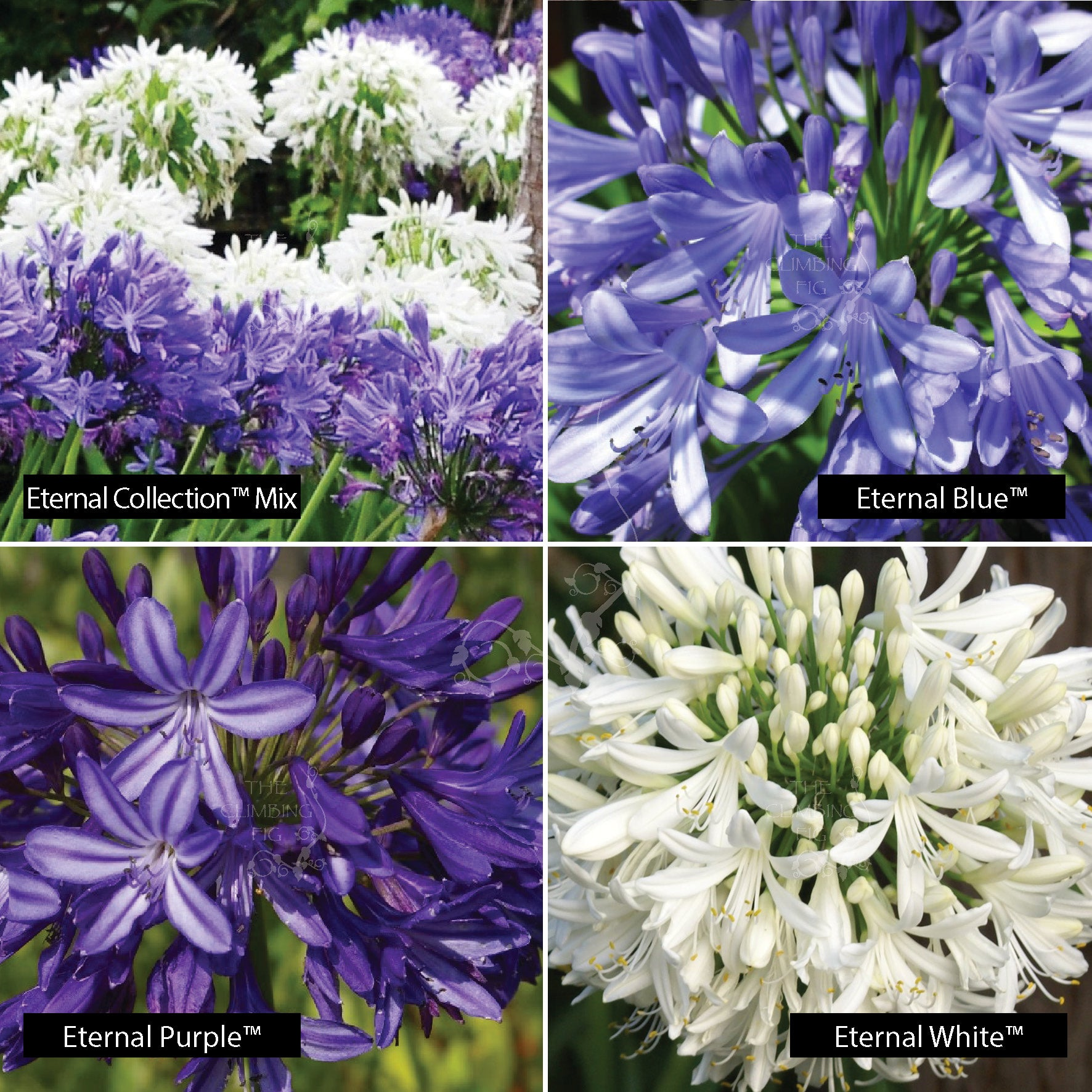 AGAPANTHUS Eternal Collection Seeds. Flower colours White, Blue and Mixed