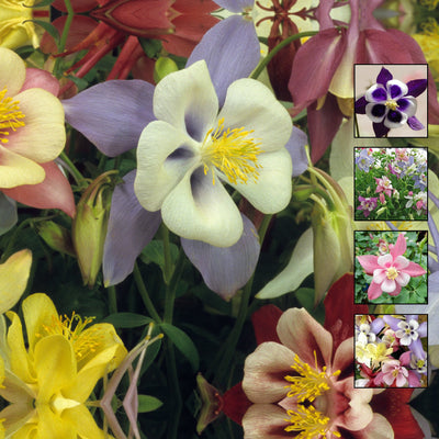AQUILEGIA Angel's Ranunculus Orchid x30 Seeds. Mix of modern bicolour flowers