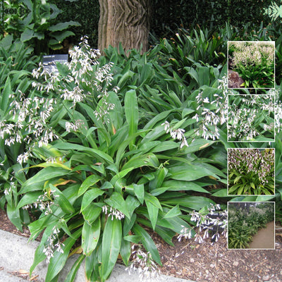 ARTHROPODIUM CIRRATUM Matapouri Bay x12 Seeds. Rock Lily, ideal for landscaping