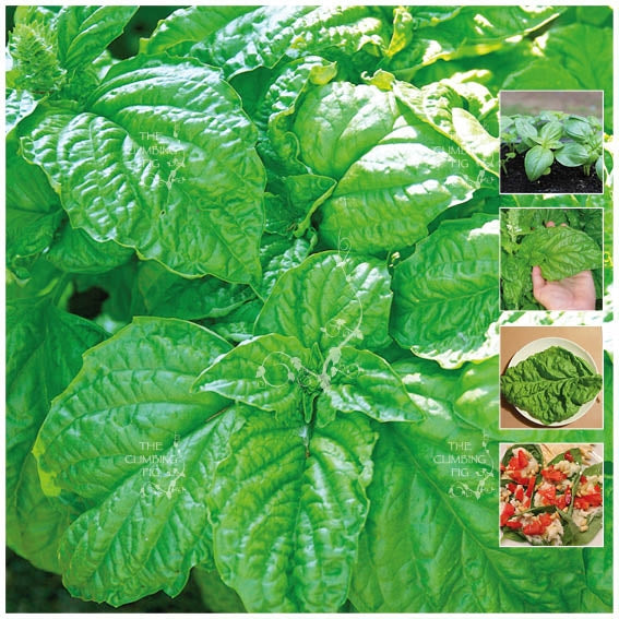 Basil Sweet Mammoth Seeds