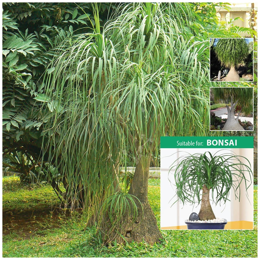 Beaucarnea Recurvata Ponytail Palm Seeds