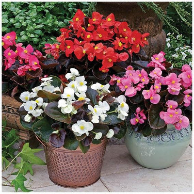 Begonia Bada Boom Mix Seeds