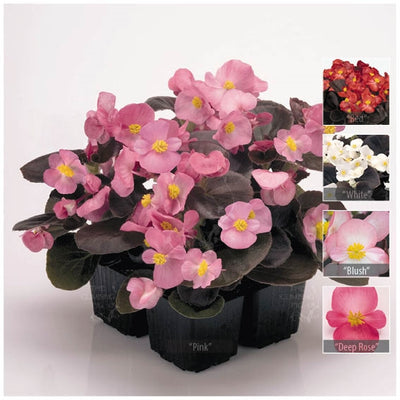 Begonia Nightlife Range Seeds