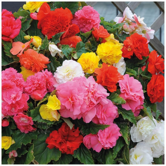 Begonia Nonstop Mix Seeds