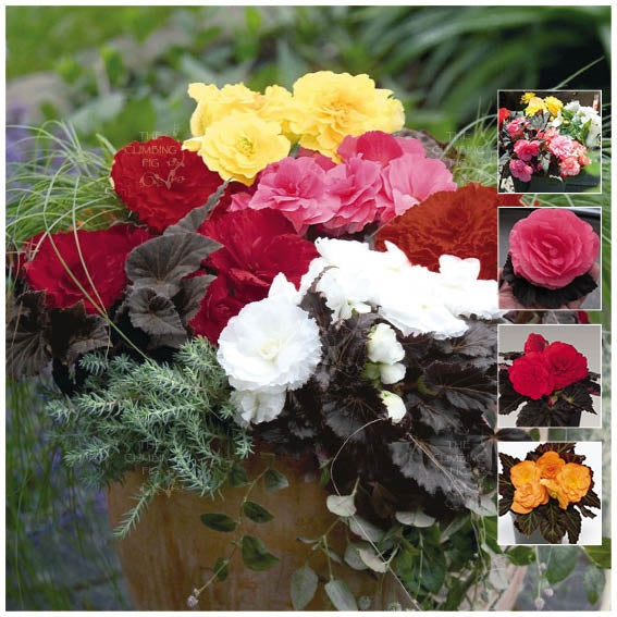 Begonia Nonstop Mocca Mix Seeds