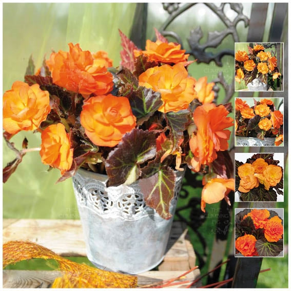 Begonia Nonstop Mocca Bright Orange Seeds
