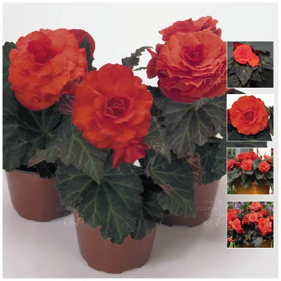 Begonia Nonstop Mocca Deep Orange Seeds