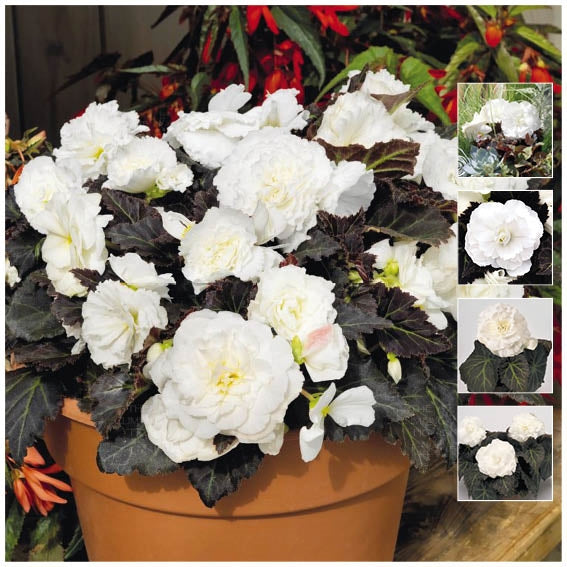 Begonia Nonstop Mocca White Seeds