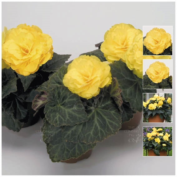 Begonia Nonstop Mocca Yellow Seeds