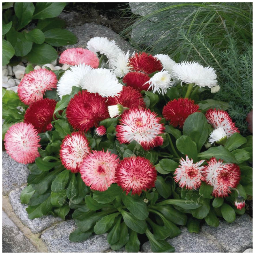 Bellis English Daisy Mix Adored Seeds