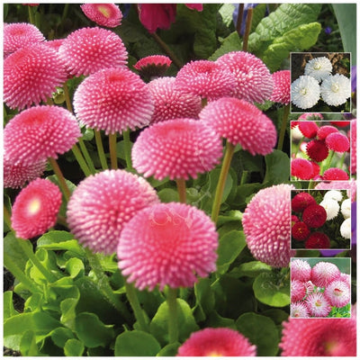 Bellis Symphony Double Mix Seeds