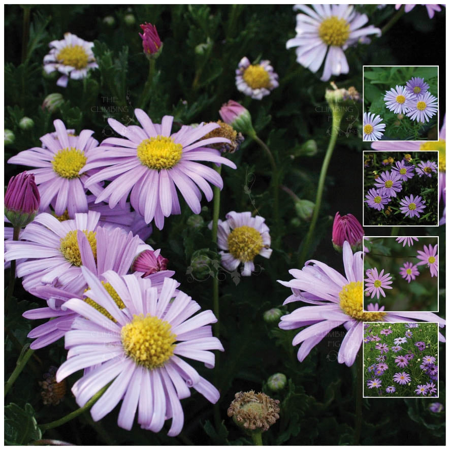 Brachycome Swan River Daisy Seeds