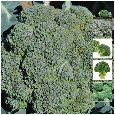 Broccoli Green King Seeds