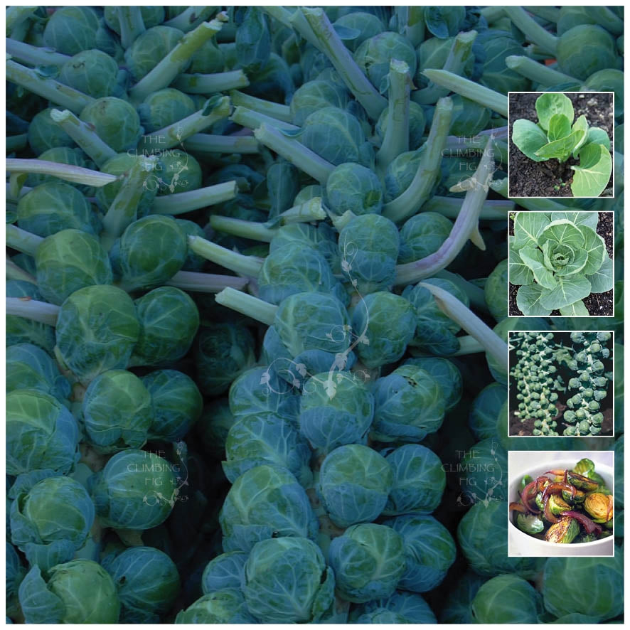 Brussel Sprouts Long Island Improved Seeds