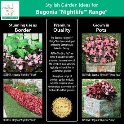 BEGONIA Nightlife Range Pelletised Seeds. Bronze leafed. Red, pink, white flower