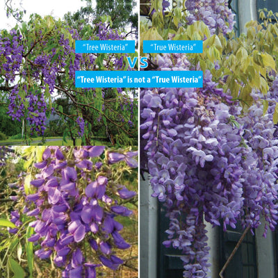 Bolusanthus Tree Wisteria Seeds. Hardy mauve flowering specimen tree