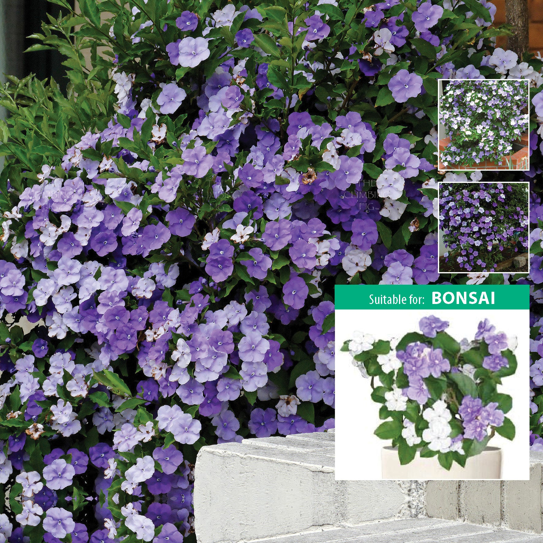 BRUNFELSIA Yesterday-Today-Tomorrow x12 Seeds. Purple white flower evergreen