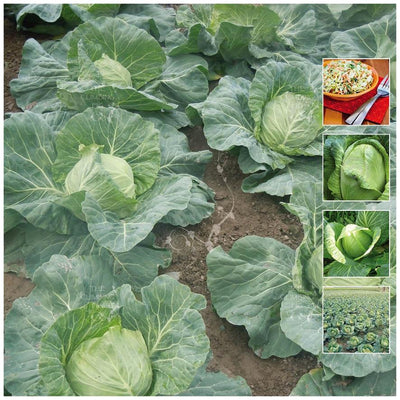 Cabbage Cavola Sugarloaf Seeds